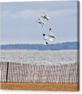 Flock Of Gulls Canvas Print