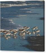 Flock Of Sanderlings Canvas Print