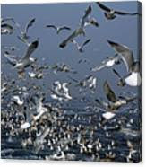 Flock Of Seagulls In The Sea And In Flight Canvas Print