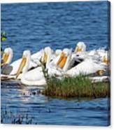Flock Of White Pelicans Canvas Print