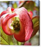 Floral Art Pink Dogwood Flowers Baslee Troutman Canvas Print