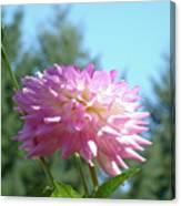 Floral Art Prints Pink White Dahlia Flower Pastel Baslee Troutman Canvas Print