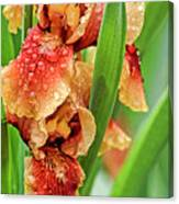 Floral Bearded Iris With Rain Drops  Canvas Print