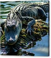 Florida Alligator Canvas Print