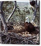 Florida: Bald Eagles, 1983 Canvas Print