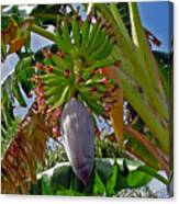Florida Banana Flower And Fruit Canvas Print