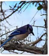 Florida Blue Jay Canvas Print