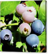 Florida - Blueberries - On The Bush Canvas Print
