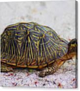 Florida Box Turtle Canvas Print