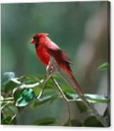 Florida Cardinal Canvas Print