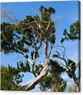 Florida Cedar Tree Canvas Print