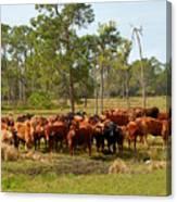 Florida Cracker Cows #1 Canvas Print