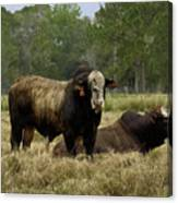 Florida Cracker Cows #4 Canvas Print