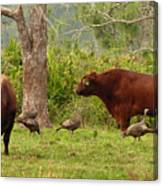 Florida Cracker Cows And Osceola Turkeys #2 Canvas Print