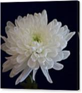 Florida Flowers - White Gerbera Ready For Full Bloom Canvas Print