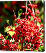 Florida Holly Berry's  Canvas Print