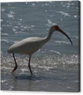 Florida Ibis 2 Canvas Print