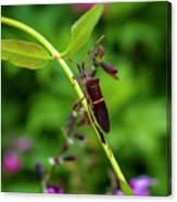 Florida Leaf-footed Bug Canvas Print