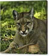 Florida Panther Agitated Canvas Print