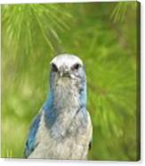 Florida Scrub Jay In Pine Canvas Print