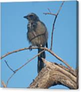Florida Scrub Jay Watching The Lay Of The Scrub Canvas Print