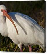 Florida White Ibis  Eudocimus Albus Canvas Print