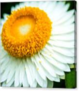 Flower Blossom 3 Canvas Print