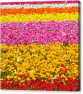 Flower Fields Carlsbad Ca Giant Ranunculus Canvas Print