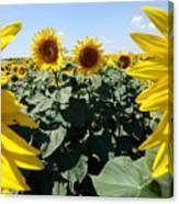 Flower Sunflower,yellow Flower, Canvas Print