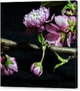 Flowering Almond 2011-16 Canvas Print