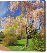 Flowering Cherry In Botanic Garden Canvas Print