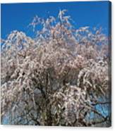 Flowering Cherry  Canvas Print