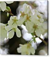 Flowering Cherry Tree 17 Canvas Print