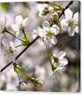 Flowering Cherry Tree Branch 4 Canvas Print