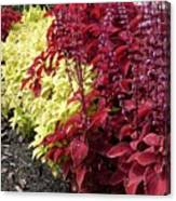 Flowering Coleus Canvas Print