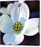 Flowering Dogwood Canvas Print