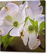 Flowering Dogwood Canvas Print