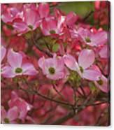 Flowering Dogwood Flowers 01 Canvas Print