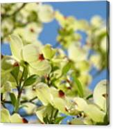 Flowering Dogwood Tree Art Print White Dogwood Flowers Blue Sky Art Canvas Print