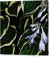 Flowering Hosta Canvas Print