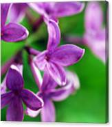 Flowering Lilac Canvas Print