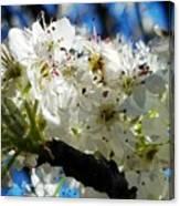 Flowering Pear Canvas Print