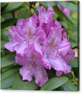 Flowering Pink Rhododendron Blossoms On A Bush Canvas Print