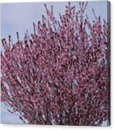 Flowering Plum In Bloom Canvas Print