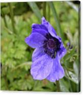 Flowering Purple Anemone Flower Blossom In A Garden Canvas Print