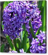 Flowering Purple Hyacinthus Flower Bulb Blooming Canvas Print