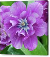 Flowering Purple Tulips With Raindrops From A Spring Rain Canvas Print