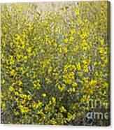 Flowering Tarweed Canvas Print