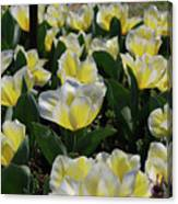 Flowering Yellow And White Tulips In A Spring Garden  Canvas Print