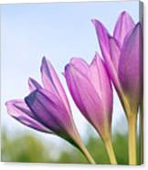 Flowers Crocuses Canvas Print